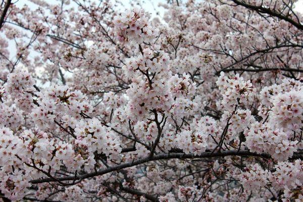 Sakura_0_2