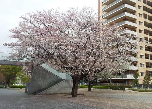 Last_sakura_2013